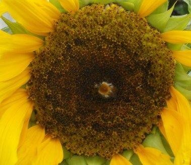 Bee n Sunflower