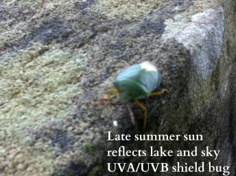 shield bug haiku