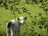 White calf along our lane