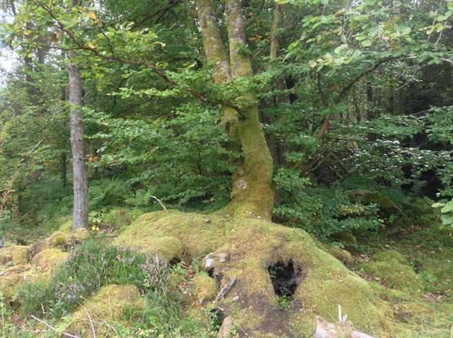 Beech tree Cavan Burren Forest park