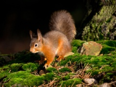 Irish Red Squirrel Conserve Ireland