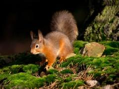 Irish Red Squirrel Conserve Ireland